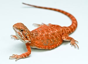 Red-Bearded-Dragon