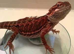 Ruby-Red-Bearded-Dragon
