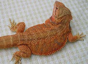 Sandfire-Red-Bearded-Dragon