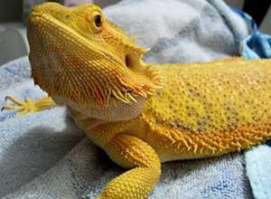 Sunburst-Bearded-Dragon