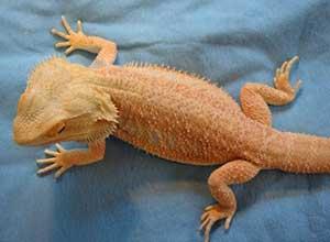 Tangerine-Bearded-Dragon