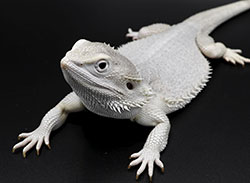 Wero-Bearded-dragon