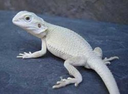 Witblits-Bearded-Dragon