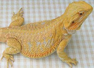 Yellow-Bearded-Dragon