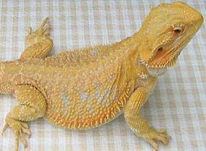 Yellow-Bearded-Dragon