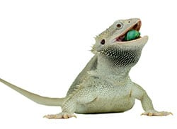 Zero-Bearded-Dragon