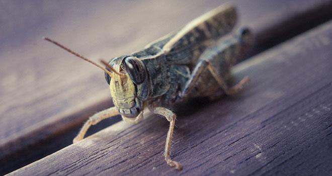 breeding-crickets-for-bearded-dragons