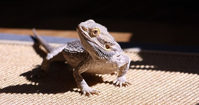 Administer Oral Medication to your Bearded Dragon
