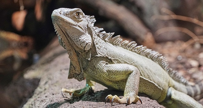 Getting-Started-With-Bearded-Dragons