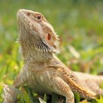 bearded-dragon-head-bobbing