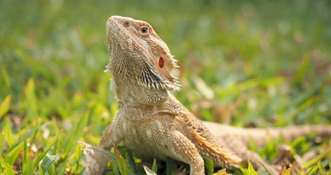 bearded-dragon-head-bobbing