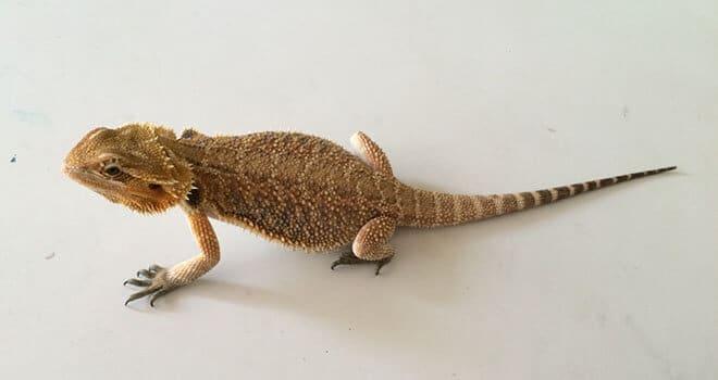 bearded-dragon-tail-rot