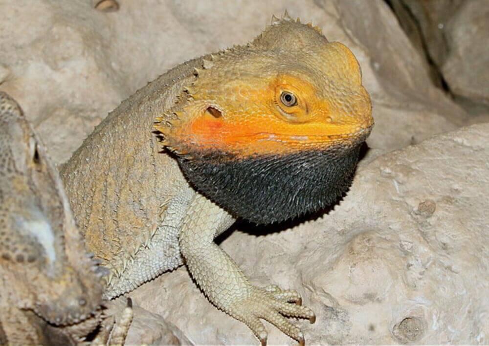 alert-bearded-dragon-with-black-beard