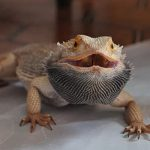 bearded-dragon-black-beard