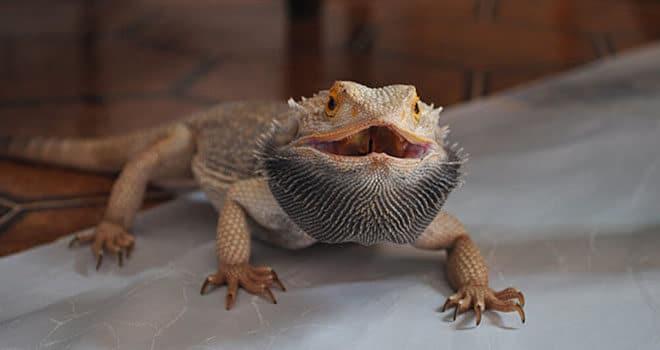 bearded-dragon-black-beard