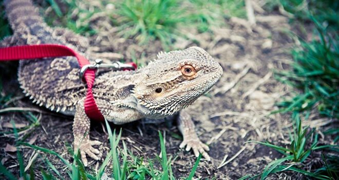 bearded-dragon-leash