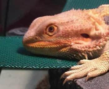 bearded-dragon-sunken-eyes-due-to-dehydration