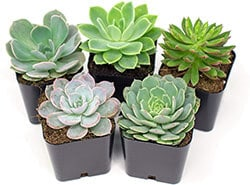 echeveria-succulents-plant-for-bearded-dragon-cage