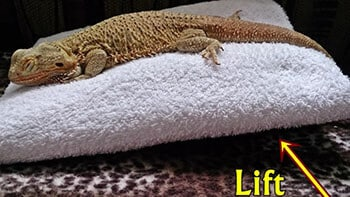 bearded-dragon-laying-in-incline-position