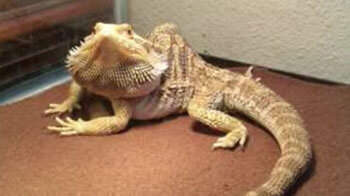 deformed-bearded-dragon-due-to-mbd