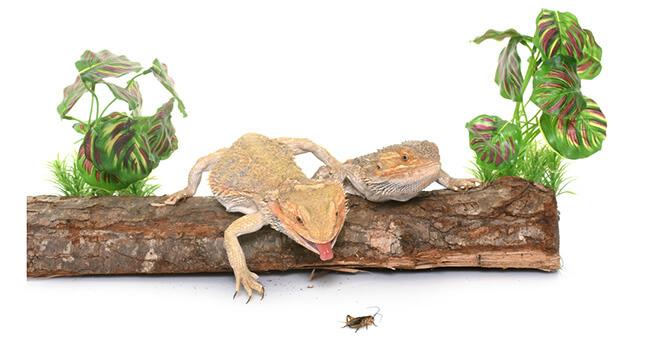 bearded-dragon-eating-cricket