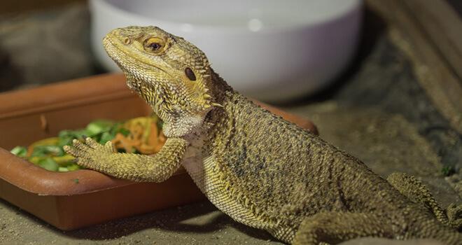 bearded-dragon-eating-green