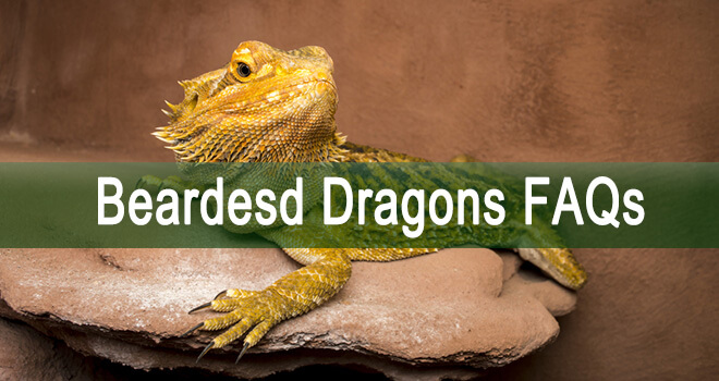 bearded-dragon-faqs