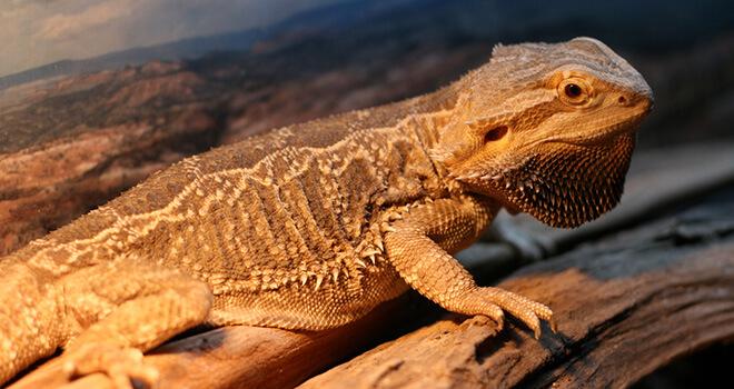 bearded-dragon-puffed-up
