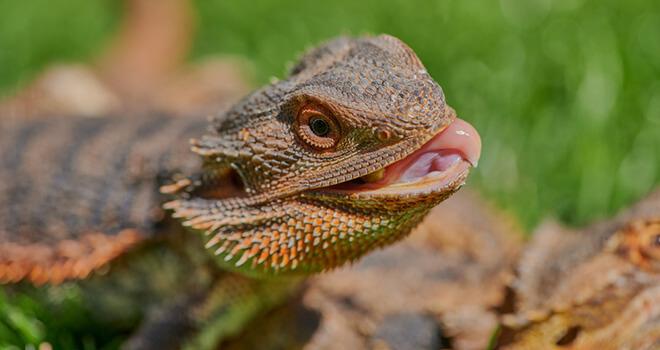 bearded-dragon-slurry