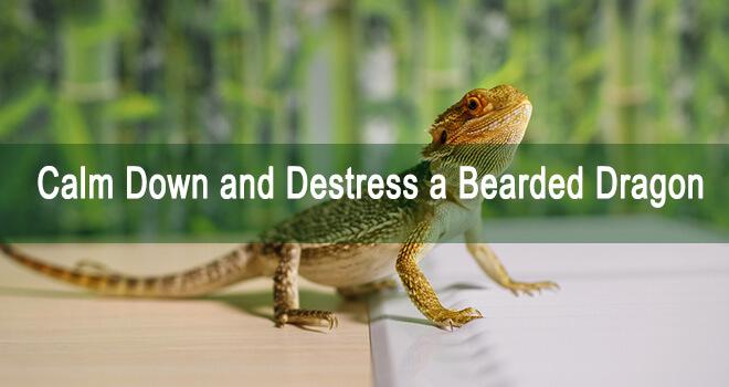 destress-a-bearded-dragon