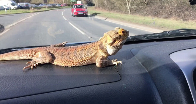 traveling-with-bearded-dragon