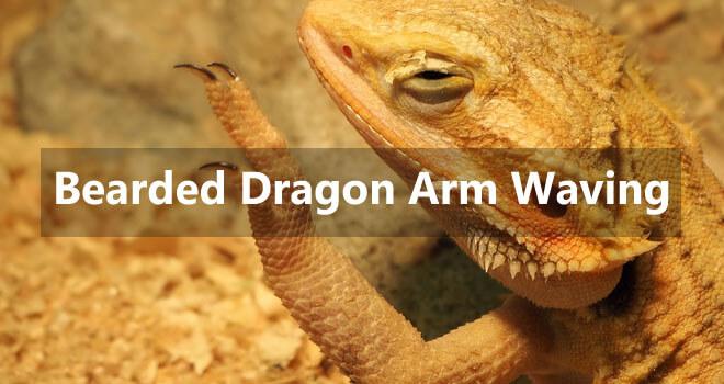 bearded-dragon-arm-waving