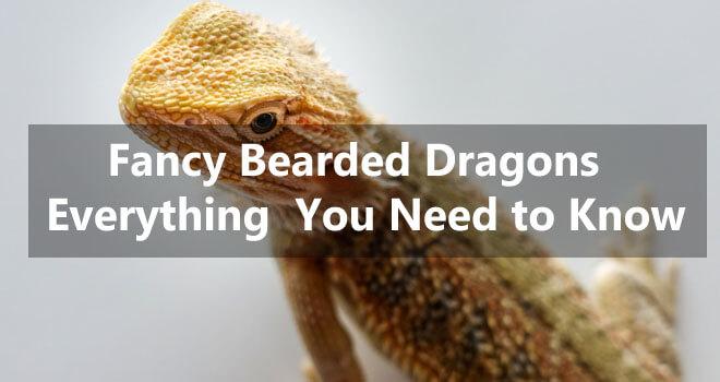 fancy-bearded-dragons