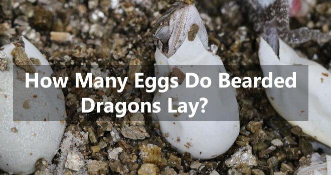 how-many-eggs-do-bearded-dragons-lay