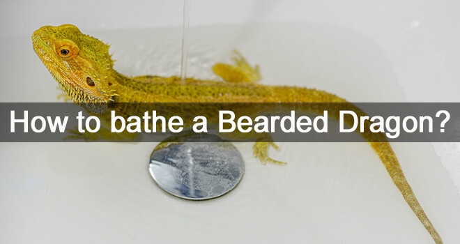 bathing-a-bearded-dragon