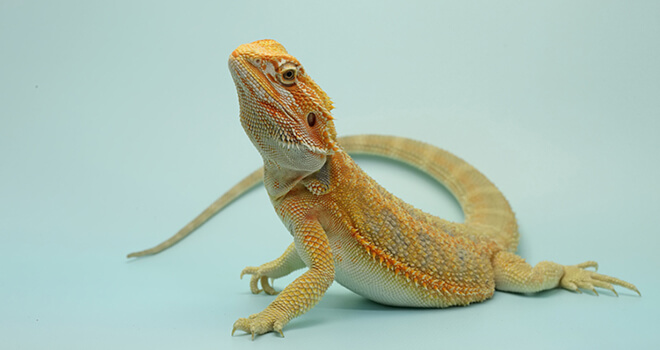 bearded-dragon-guide