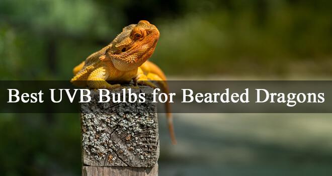 best-uvb-bulbs-for-bearded-dragons
