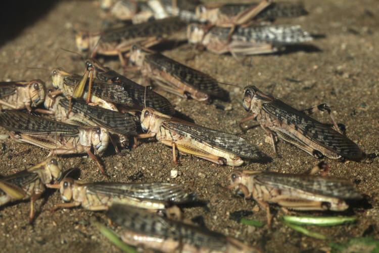 desert-locust