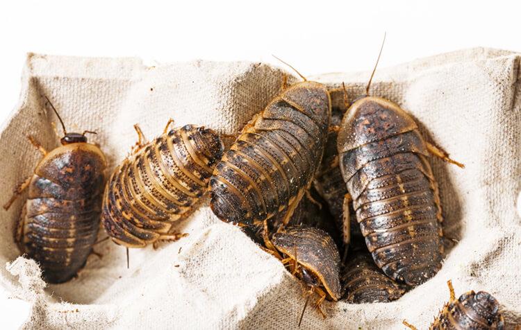 dobia-roaches