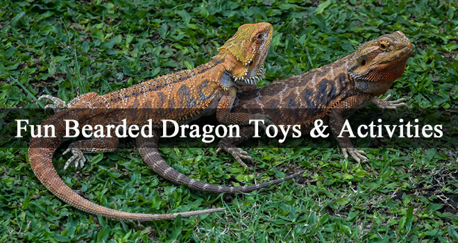 fun-bearded-dragon-toys-and-activities