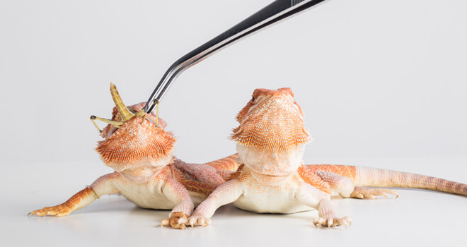 get-your-bearded-dragon-to-eat