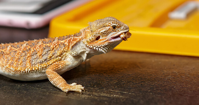 how-long-can-bearded-dragon-go-without-food