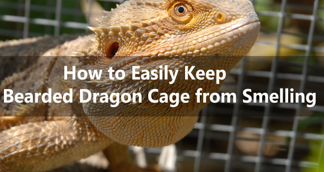 how-to-easily-keep-a-bearded-dragon-cage-from-smelling