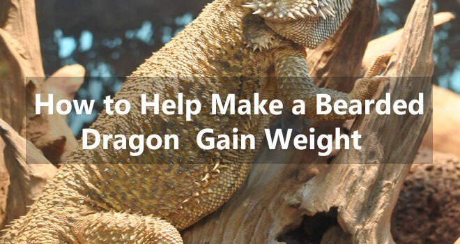 how-to-help-make-a-bearded-dragon-gain-weight