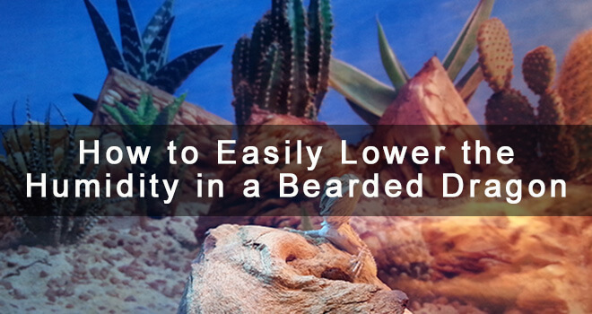 lower-humidity-in-bearded-dragon-enclosure