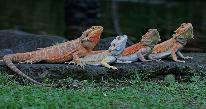 bearded-dragon-breeders