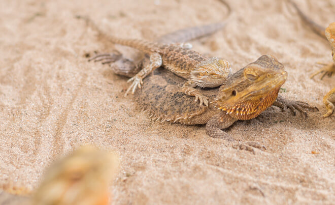 bearded-dragon-sand-substrate