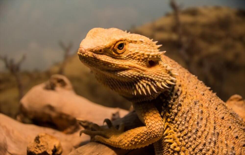 classic-standard-bearded-dragon