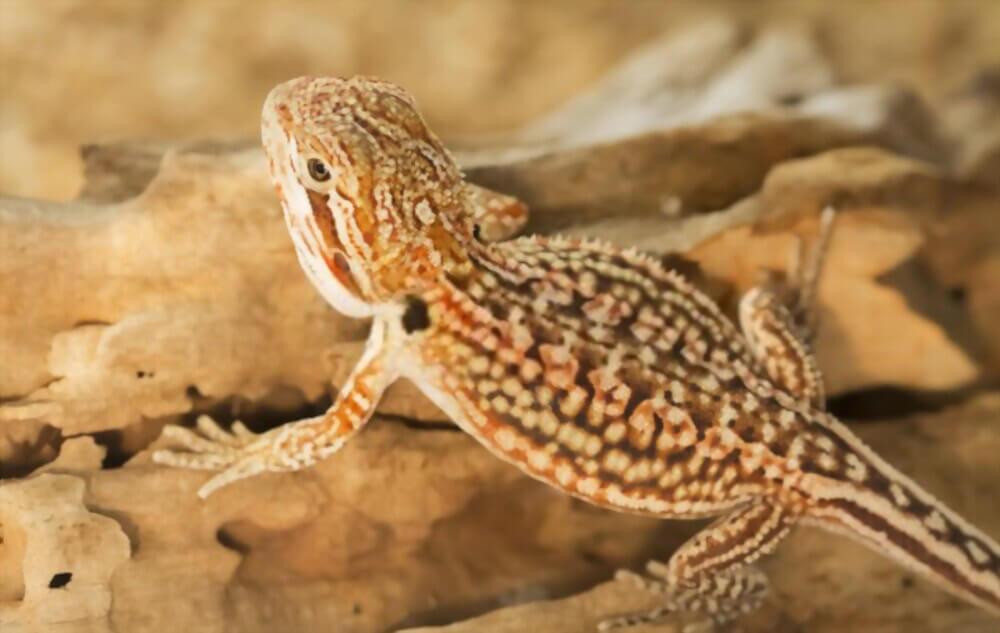dunner-bearded-dragon