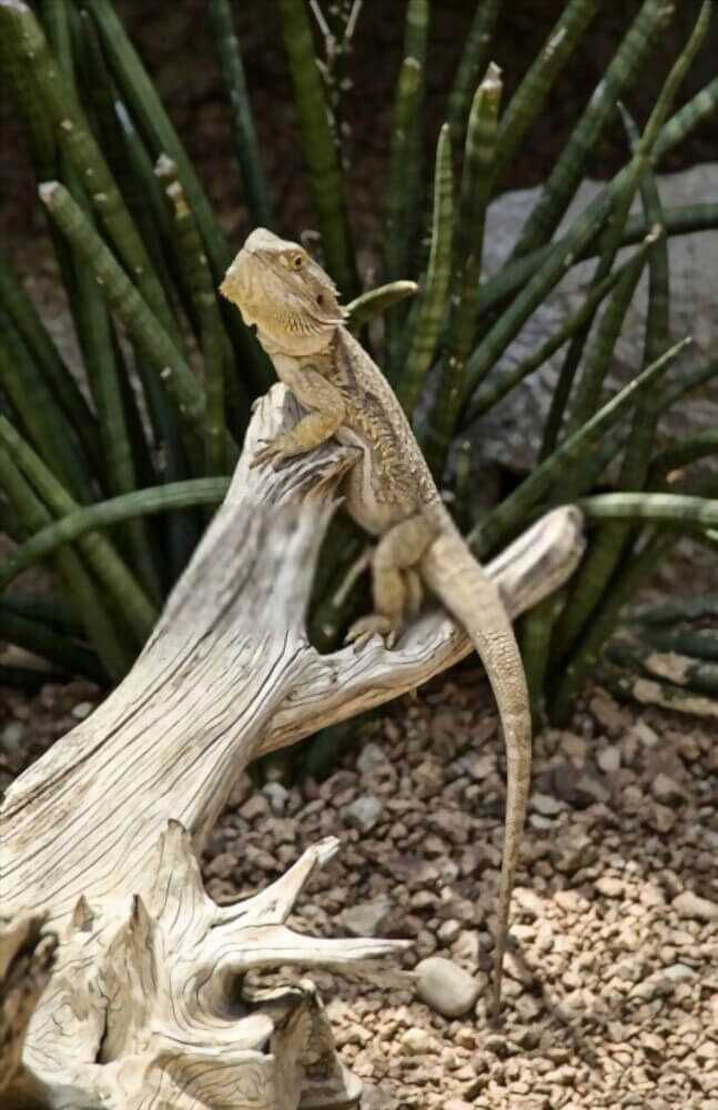 hypomelanistic-bearded-dragon